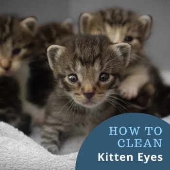 How to clean kittens